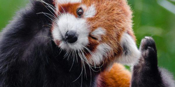 panda roux qui se gratte