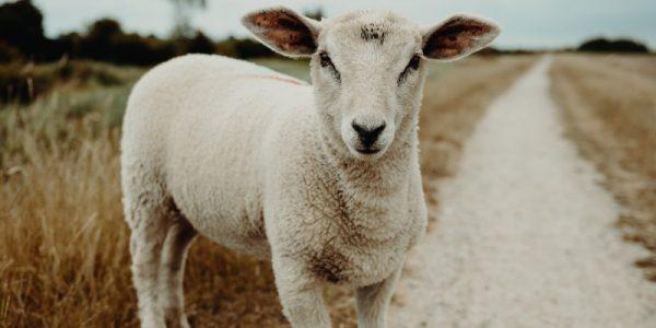 agneau sur une route